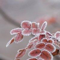 Морозным утром. :: Ирина Чикида