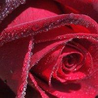 роза :: Нина Насыпова
