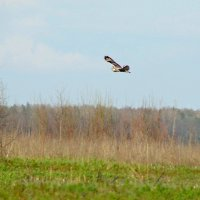 болотная сова :: gawrilа - dan