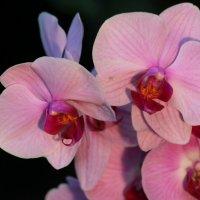 Орхидея :: Анатолий Шумилин