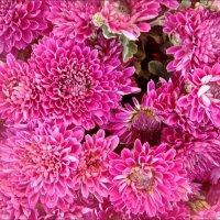 Примета осени - хризантемы :: Нина Корешкова