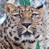 Леопард :: Аркадий