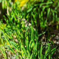Утренняя трава :: Юлия