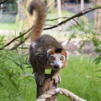 Lemur :: Zinaida Belaniuk