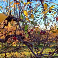 В яблоневом саду :: Елена