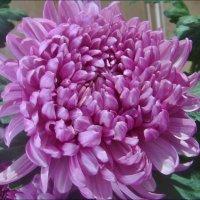 Хризантема во всей красе :: Нина Корешкова