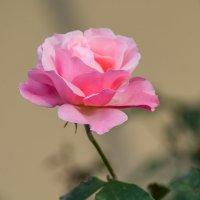 Розовая роза :: Игорь Герман