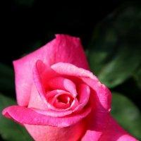 розовая роза :: Екатерина Силенко