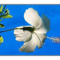 Гибискус-китайская роза. :: Николай Волков