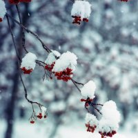 Рябина под снегом :: Дмитрий Николаев