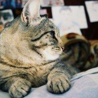 Он думает, что он — король, но на самом деле всего лишь кот. :: Света Кондрашова