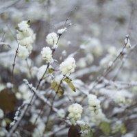 снег :: Наталья Петрова