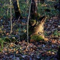 Лесной житель... :: Валерия  Полещикова