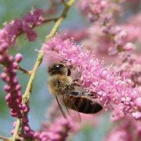 Пчелка на тамариске :: Елена Шемякина