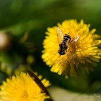 одуванчик и пчелка :: Taigen Rokhman