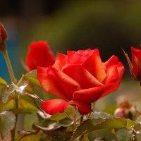 Роза :: НАТАЛИ natali-t8