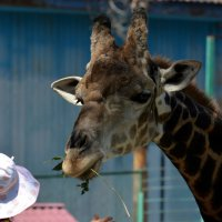 Жираф и девочка :: Асылбек Айманов