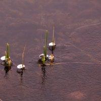 Есть в графском парке черный пруд, там лилии цветут :: Татьяна Ломтева