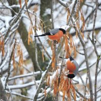 Почти зима....Снегири на ясенях. :: Ната Волга