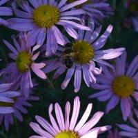 Пчёлка на цветке. :: zoja