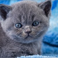 Милый котёнок :: Ольга Мореходова