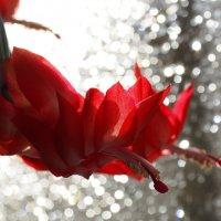 Скоро к нам декабрь придёт с длинными ночами...,а пока цветок расцвёл яркими лепестками... :: Александр Попов