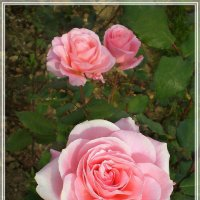 Розы :: Эля Юрасова