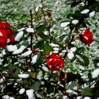 Розовый куст в снегу :: Милешкин Владимир Алексеевич