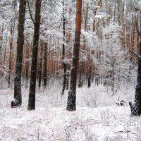 Первый снег в сосновом бору. :: Борис Митрохин