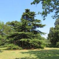 Хвойное дерево :: Вера Щукина