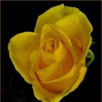 Образ жёлтой розы :: Нина Корешкова