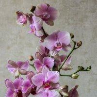 Розовая орхидея :: Ирина Приходько