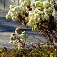 Ноябрьские хризантемы в городе... :: Тамара (st.tamara)