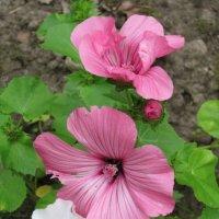 Розовые  и белый :: Дмитрий Никитин