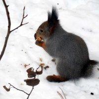 Куцехвостик закусывает арахисом!!! :: Наталья Пендюк Пендюк