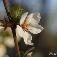 Яблоневый цвет :: Надежда Горошко