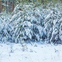 сосенки в снегу :: Иван