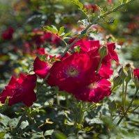 Алые розы в ноябре :: Александр Деревяшкин