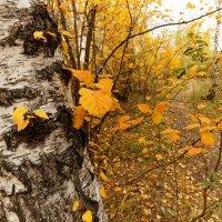 Береза. Осень. Желтые листья. Дорожка :: Сергей С