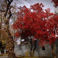 Красное дерево :: Людмила