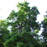 Деревья  в  Мемориальном  Сквере  Ивано - Франковска :: Андрей  Васильевич Коляскин