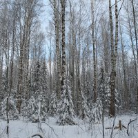 В лесу уже снег. :: Ирина Аверьянова