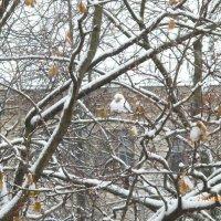 Снежный воробей. :: шубнякова