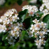 Весеннее цветение :: Вера (makivera)