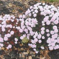 Средь осенней листвы хризантемы цветут! :: Наталья
