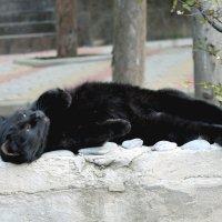 чёрный кот :: elena manas