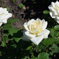 Розы :: Вера Андреева