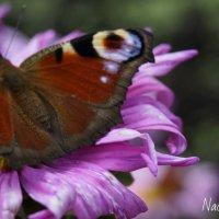 Бабочка :: Надежда Горошко