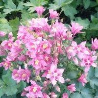 Цветы дачные :: Лидия Гаранина