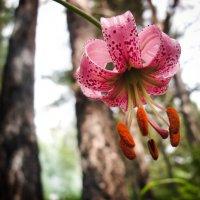 Дикая лилия в лесах Алтая :: Екатерина Короткова